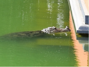 Crocodile Entered The Temple And People Worshipped It