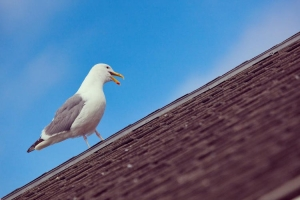 Angry Seagulls Dont Let Elderly Couple Step Out Of Their House For Days