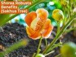 Health Benefits Of Shorea Robusta