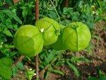 Tomatillo Nutrition Benefits Recipes