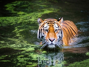 International Tiger Day Measures By Government To Save Tigers
