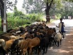 Up Man Allowed Wife To Go With Lover In Exchange Of 71 Sheep