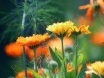 Calendula Nutrition Benefits Recipes And Side Effects