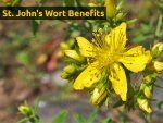 St Johns Wort Benefits Effects And Drug Interaction