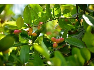 Health Benefits Of Karonda