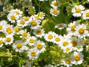 Common Flower Feverfew Is A New Treatment Against Cancer