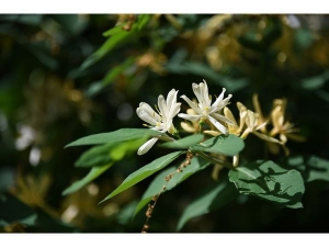 Honeysuckle Uses Benefits And Side Effects