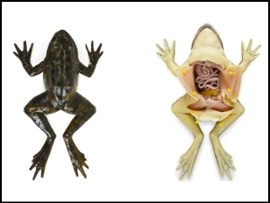 Medical Students At Florida School Uses Artificial Frogs For Dissection