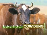 Benefits And Uses Of Cow Dung