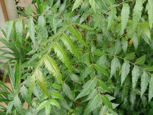 7 Gardening Tips For Neem Tree