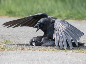 Video Of Crows Having Sex With A Dead Crow!