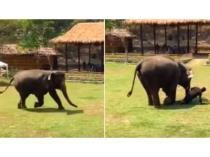 Elephant Rushed To Rescue Her Caretaker When He Was Attacked!