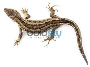 Hindu Beliefs Associated With Lizards
