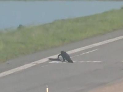 Croc Crossing Highway Is No Big Deal