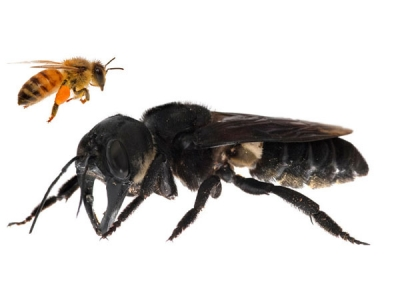 World's Largest Bee Found In Indonesia