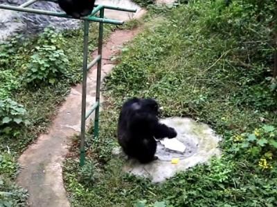 Chimpanzee Washing A T-shirt Goes Viral