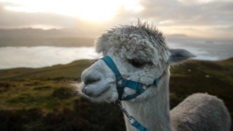 Tiny Antibodies From Llamas Can Potentially Treat COVID-19: Study