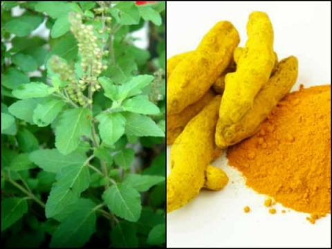 What Happens When You Drink Tulsi Water With Turmeric Every Morning?