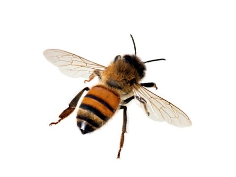 Best Home Remedies To Get Rid Of Honey Bees