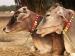 Health Benefits Of Cow Ghee
